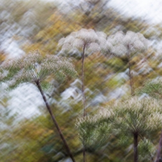 """Cow Parsley • <a style=""""font-size:0.8em;"""" href=""""http://www.flickr.com/photos/61377761@N00/25327045104/"""" target=""""_blank"""">View on Flickr</a>"""